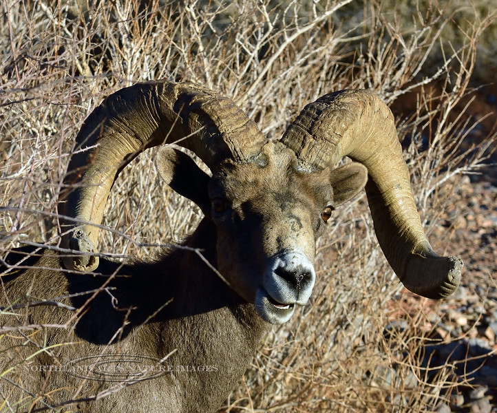 SBHD-2021.2.21#5690.1. A portrait of a modest but pretty nice Desert Bighorn ram.