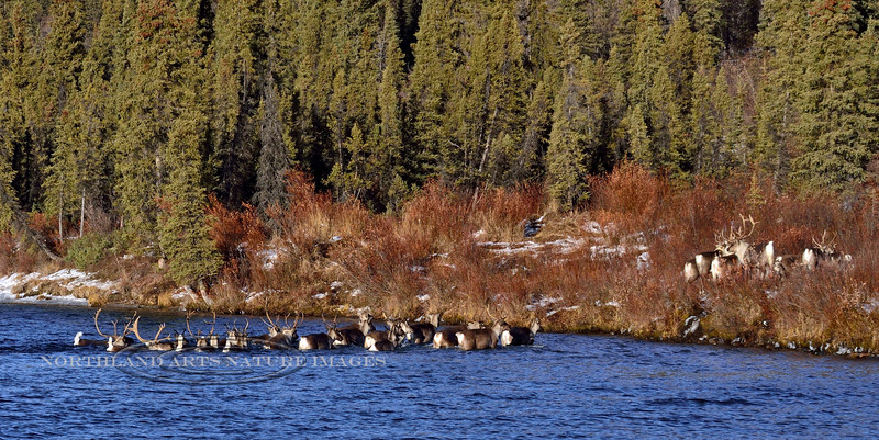 Caribou on the fall migration. Alaska. #1015.165. 1x2 ratio format.