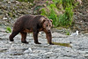 185-2010.8.12#221. An extremely large Alaska Brown bear. He was the alpha male in 2010 at McNeil river falls, Alaska.