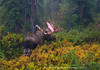 An image from the series of the last 5 years of this bull moose. #tfsf83.023. 2x3 ratio format.