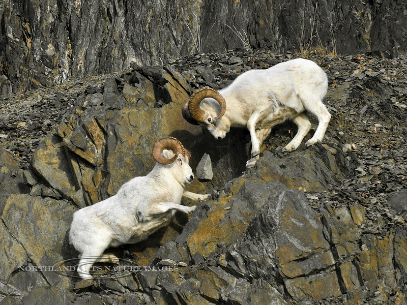 """SD-2014.11.25#153-Dall ram's in a battle during the """"Rut"""". Note the large rock in the shot captured in mid air between the two rams. Chugach Mountains, Alaska."""