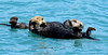 MMSO-2016.7.18#612. A pair of Sea Otters. Resurrection Bay, Seward Alaska.