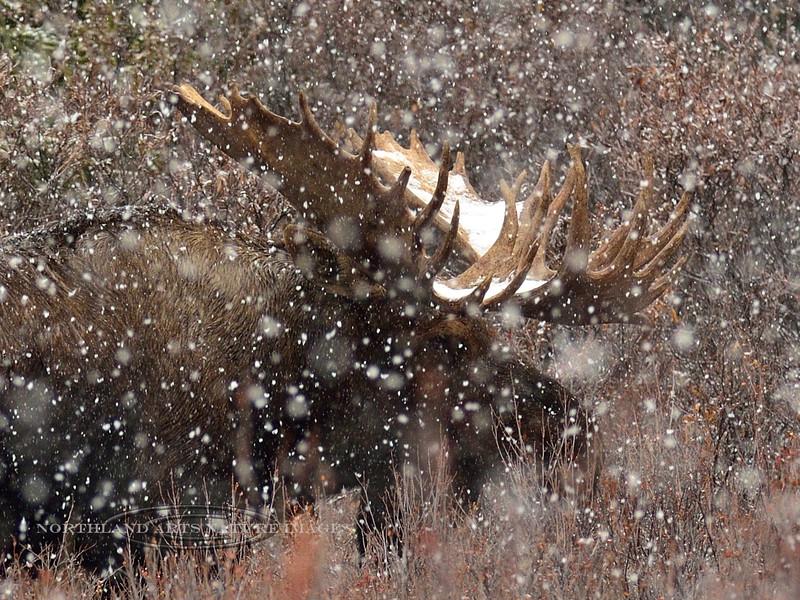 M-2014.9.24#459b. Alaska moose. Thirteen mile, Denali Park Alaska.