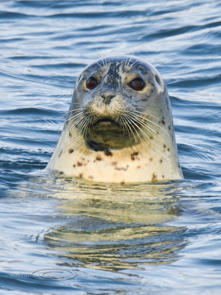 MM-Harbor Seal. Seward, Alaska. #430.289. 3x4 ratio format.