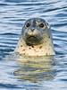 MMHS-2014.4.30#289. A Harbor Seal. Seward, Alaska.