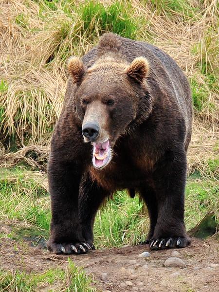 A magnum Brown bear. McNeil river Alaska. #812.066. 3x4 ratio format.