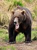 BBR-2010.8.12#066. A magnum Brown bear. McNeil River falls, Alaska.