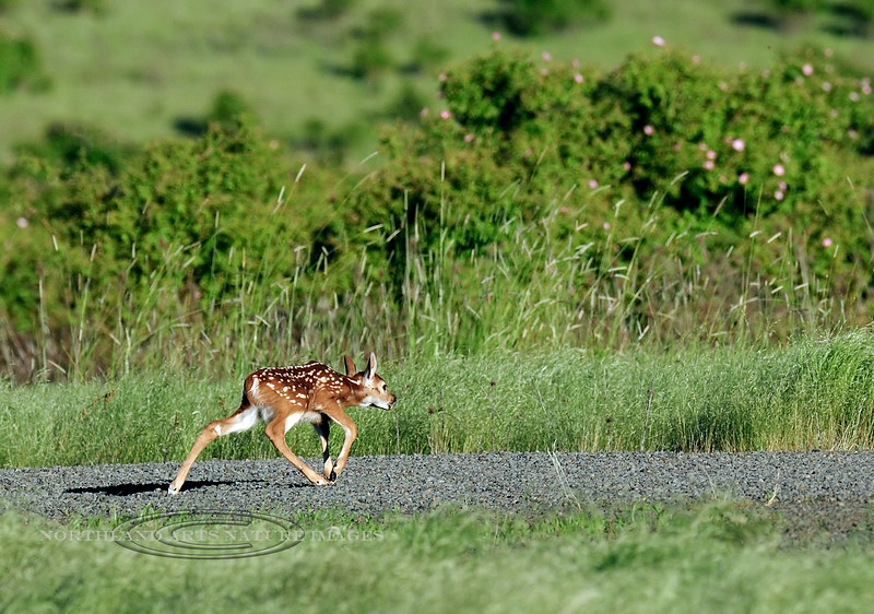 DW-2012.6.16#174. A whitetail fawn was chased by a doe to get in the cover. Camas Prairie. Idaho.