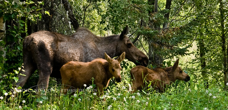M-2009.7.5#050. Alaska Moose. A Cow with calves on one of their first forays in the open. Conner's Bog, Anchorage, Alaska.
