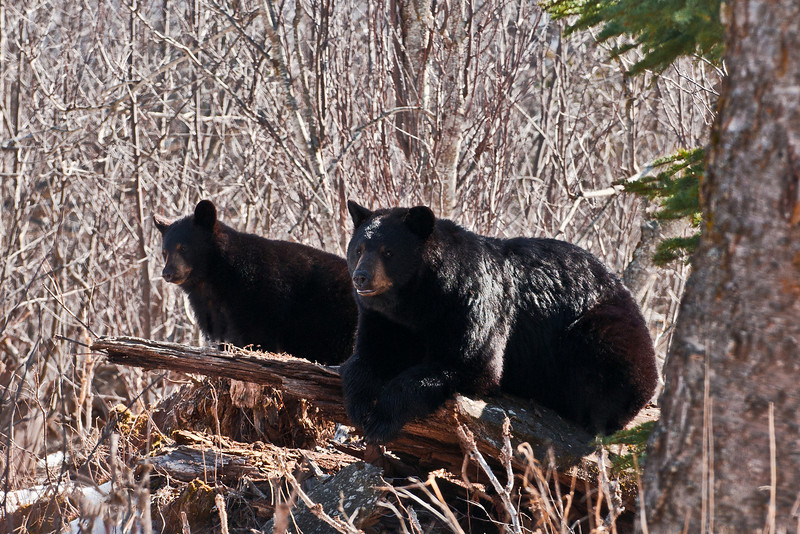 205-2011.4.15. Black bear sow & cub. Not any real feeding going on with these bears yet. It's thier first full day on the ground, mostly spent exploring and lounging in ground nests. near Campbell Creek, Anchorage, Alaska.