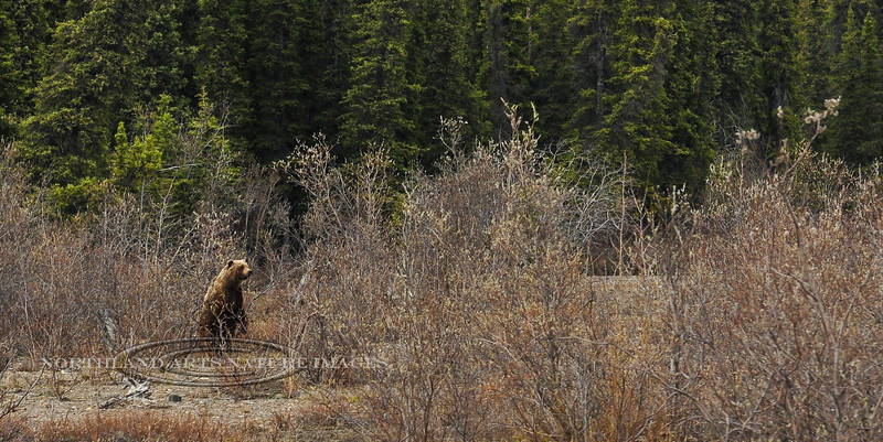 This large boar Grizzly is tracking a sow that is in estrus and and that he has been following all day. #527.111. 1x2 ratio format.