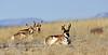 AP-2018.1.21#007. Pronghorn Antelope. Yavapai County, Arizona.