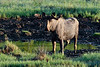 M-2014.6.23#2341.5. I found this small bull moose is in a bog licking mud for the minerals. Denali Highway Alaska.