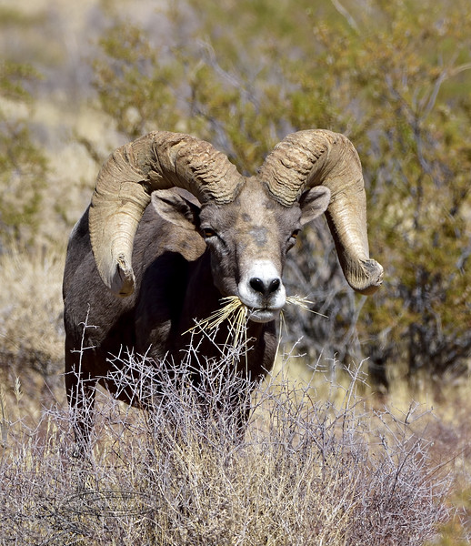 SBHD-2019.10.13#484.3. A real good Desert Bighorn ram grazing in grass. A really great capture by Guy J.