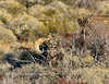 SBHD-2021.2.21#5767.2. A nice mature Desert Bighorn ram browsing on an unknown desert shrub.