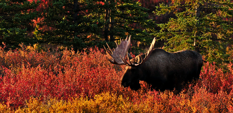 21-2009.9.4#017. A large Alaska bull moose ventures out from seclusion in the dark spruce forest but for a short period of time at first light. One of those moments when light and color are about as good as it gets. Denali National Park, Alaska.