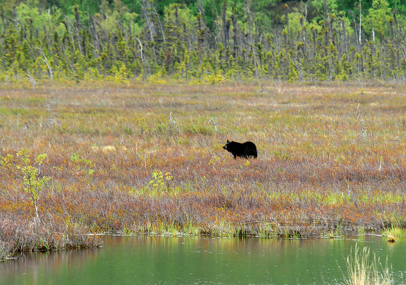 BB-2008.5.30#008. In all the years I lived in Alaska this was the only time I captured a Black bear out in the middle of Potter Marsh on the south side of Anchorage.
