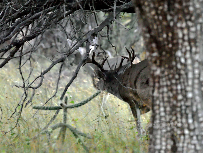 DC-2018.10.16#496. A rare lucky glimpse of a truly remarkable 8x8 nontypical Coues Whitetail buck. Arizona.