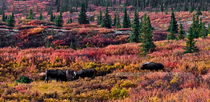Alaska Moose. Some minor sparring during the pre rut. Denali National Park, Alaska. #94.133. 1x2 ratio format.