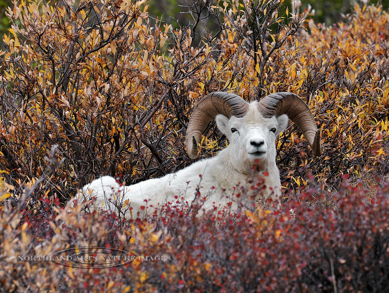 SD-2009.9.16#040- A Dall ram hanging in some willows on a dark stormy day. Denali Park Alaska.