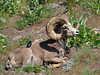SBHRM-2015.5.17#982. A Rocky Mountain Bighorn ram. With a Cowbird and Starling tending to any insects that might be hitching a ride on the ram. Montana.