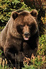 Interior Grizzly bear. Alaska Range, Alaska. #825.030. 2x3 ratio format.