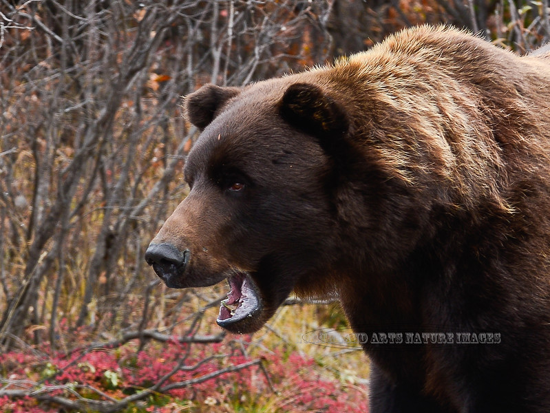 A grand old interior grizzly bear. Alaska Range, Alaska. #917.030b. 3x4 ratio format.