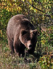 BG-2010.8.25#065. Interior Grizzly bear. Twelve mile drainage, Denali Park Alaska.