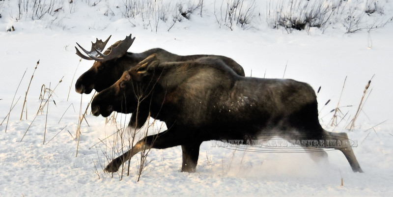 Two young bull moose. Anchorage Alaska. #1228.007. 1x2 ratio format.