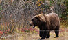 Grand old Interior grizzly bear. Alaska Range, Alaska. #917.030a. 1x2 ratio format.
