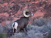 SBHD-2018.12.12#412. A Desert Bighorn. Had to shoot this in almost total darkness. A good ram, but a poor image showing signs of sinusitis I couldn't relocate the next day.