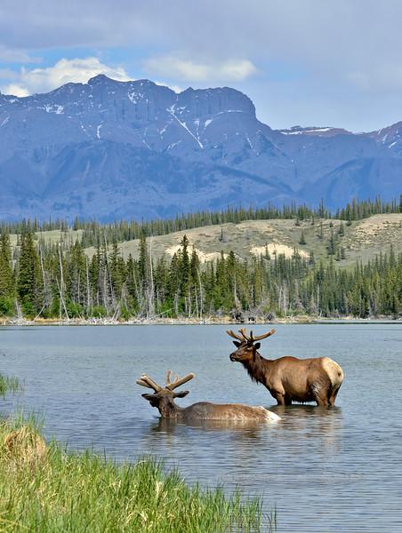 Elk, Rocky Mountain. #521.2080. 3x4 ratio format.