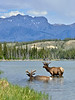 Elk, Rocky Mountain. #521.2080. 3x4 ratio format.