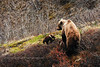 Grizzly, sow & cubs. Alaska Range Mtn's.,Alaska. #526.012