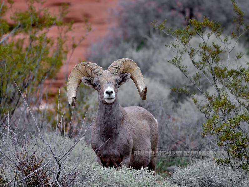 SBHD-2019.1.17#431. A Desert Bigorn ram.