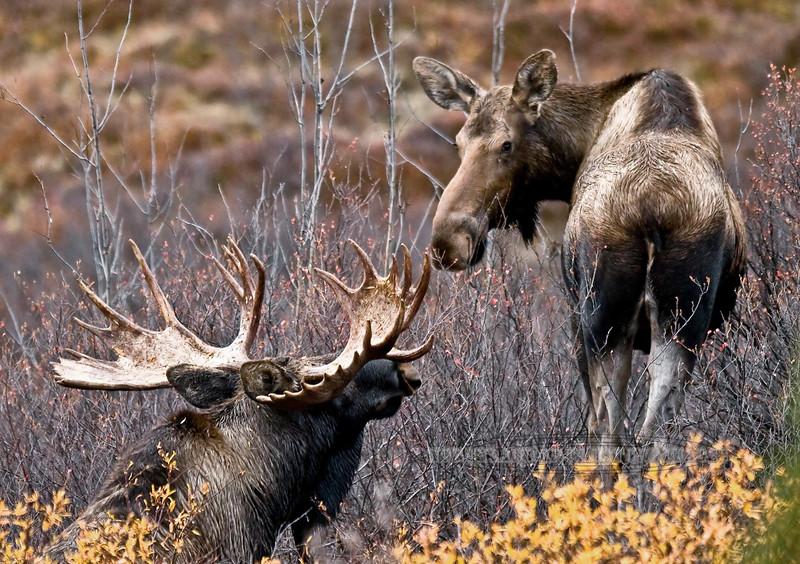 M-2008.9.20#127. A bull moose tending a cow close to estrus. Between Primrose & Sanctuary, Denali Park Alaska.