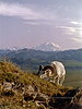 "SD-1983.6.30.399. Dall ram. A nice ram feeding up a ridge under the backdrop of ""Denali"" the mountain. Denali Park Alaska."