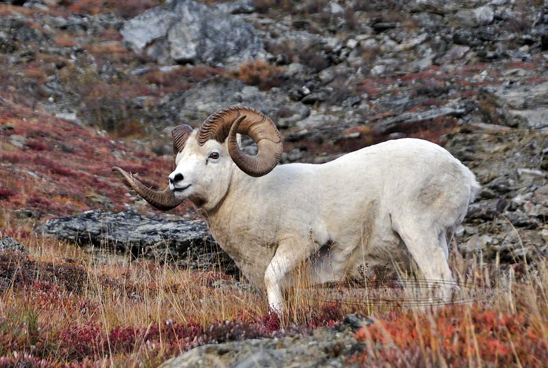 SD-2009.9.16#114. A real good Dall ram getting up from his bed. Savage Canyon, Denali Park Alaska.