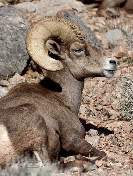 SBHD-2019.1.18#1468. A Desert Bighorn ram.