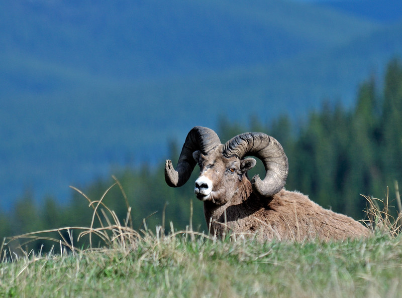 SBHRM-2015.5.21#059. Rocky Mountain Bighorn. An old broomer ram hangin in Cadomin Valley, Alberta Canada. Photo by Guy J.