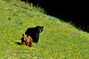 Bear, Black A sow with a cinnamon yearling cub. Rocky Mounutains. #519.1266. 2x3 ratio format.