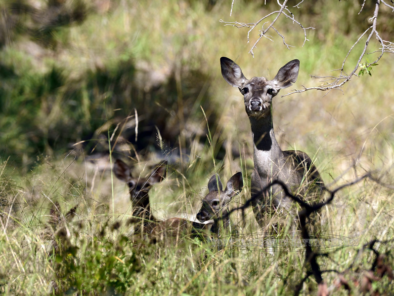 DC-2018.10.5#540. Coues Whitetail Deer. A doe with triplets. Madera Canyon, Santa Rita Mountains Arizona.