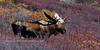M-2013.9.17#126. A nice mature Alaska bull moose. Primrose Ridge, Denali Park Alaska.