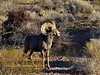 SBHD-2021.2.21#5744.2. A Desert Bighorn ram pauses while feeding almost nonstop while on a trek to the next place they will rest up for the night.