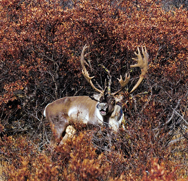 """53-2012.10.11#214.8XXX. A tremendous Barren Ground caribou. Heavy antlers with beautiful symmetry and great mass in the palmation of his tops. He is really cranked up, the """"rut"""" is on. He is aggressively thrashing the willow brush with blood shot eyes and vocalizing almost nonstop. He belongs to the Nelchina herd of the Denali Country Alaska."""