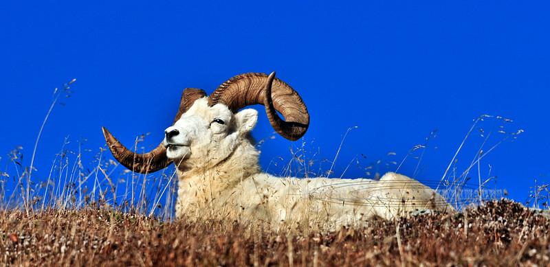 A Dall sheep ram with a broomed horn. Alaska Range mountains, Alaska. #923.336. 1x2 ratio format.