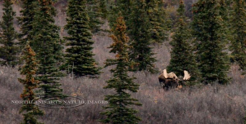 M-2016.9.19#240. Unusually wide antlers. Eight mile, Denali Park Alaska.