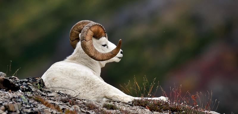 3-2008.9.5#227. A nice full curl Dall ram rests on a high mountain ridge. Savage Canyon, Denali Park Alaska.