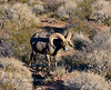 SBHD-2021.2.21#5807.2. A Desert Bighorn ram heading into the setting sun.