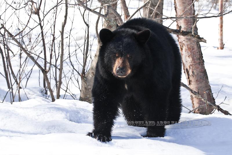 BB-2012.4.9#159. Black Bear. Anchorage, Alaska.